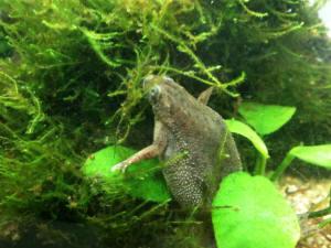 Pregnant African Dwarf Frog 69